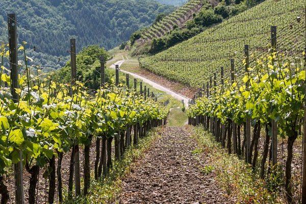 vite pianta viti vino