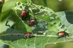 beetle-giapponese-popillia-japonica