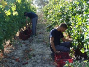 douloufakis harvest vendemmia 2016 record Grecia