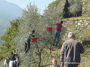 Ulivo olio Valtellina corriere.it