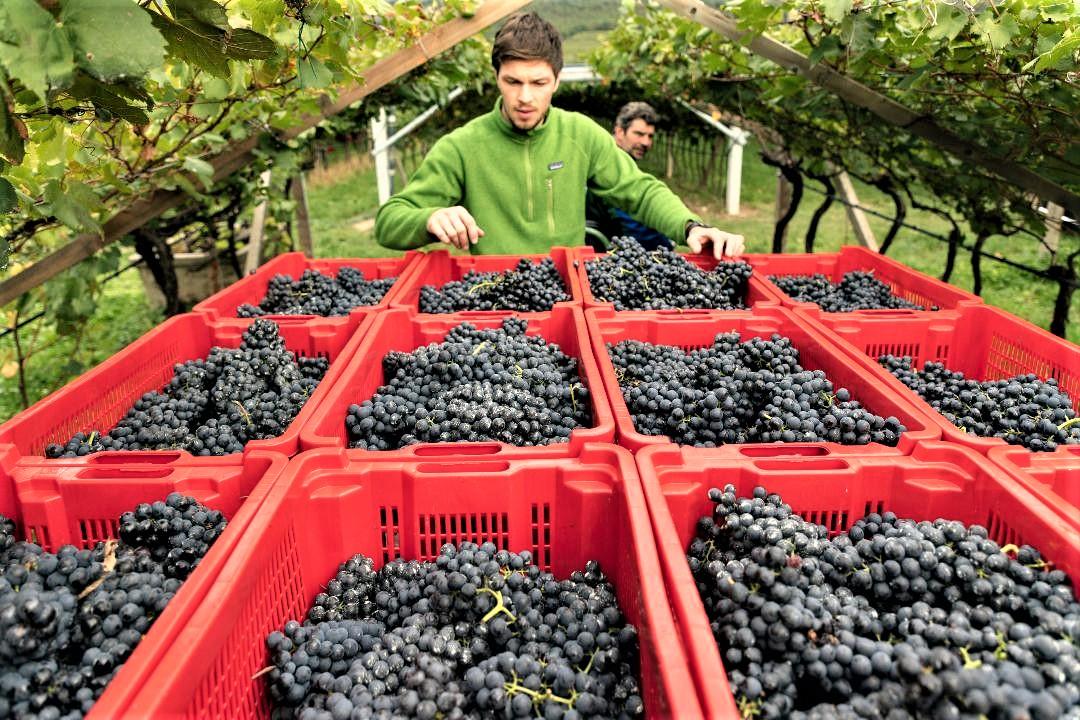 """""""Il vino del Trentino? Gdo centrico"""". Rivolta dei produttori di Teroldego contro Patton"""