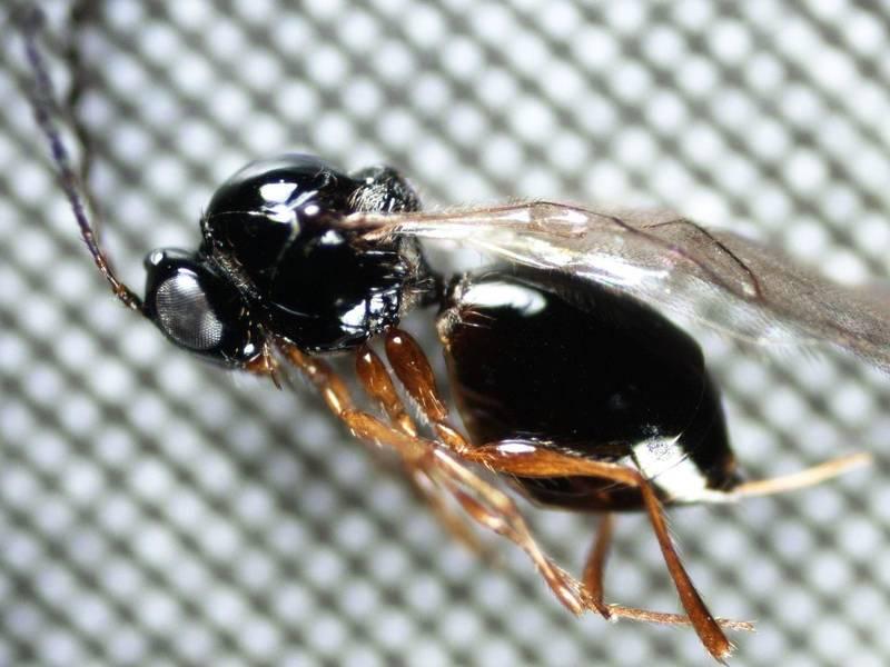 Identificato in Trentino un insetto in grado di contrastare la Drosophila suzukii