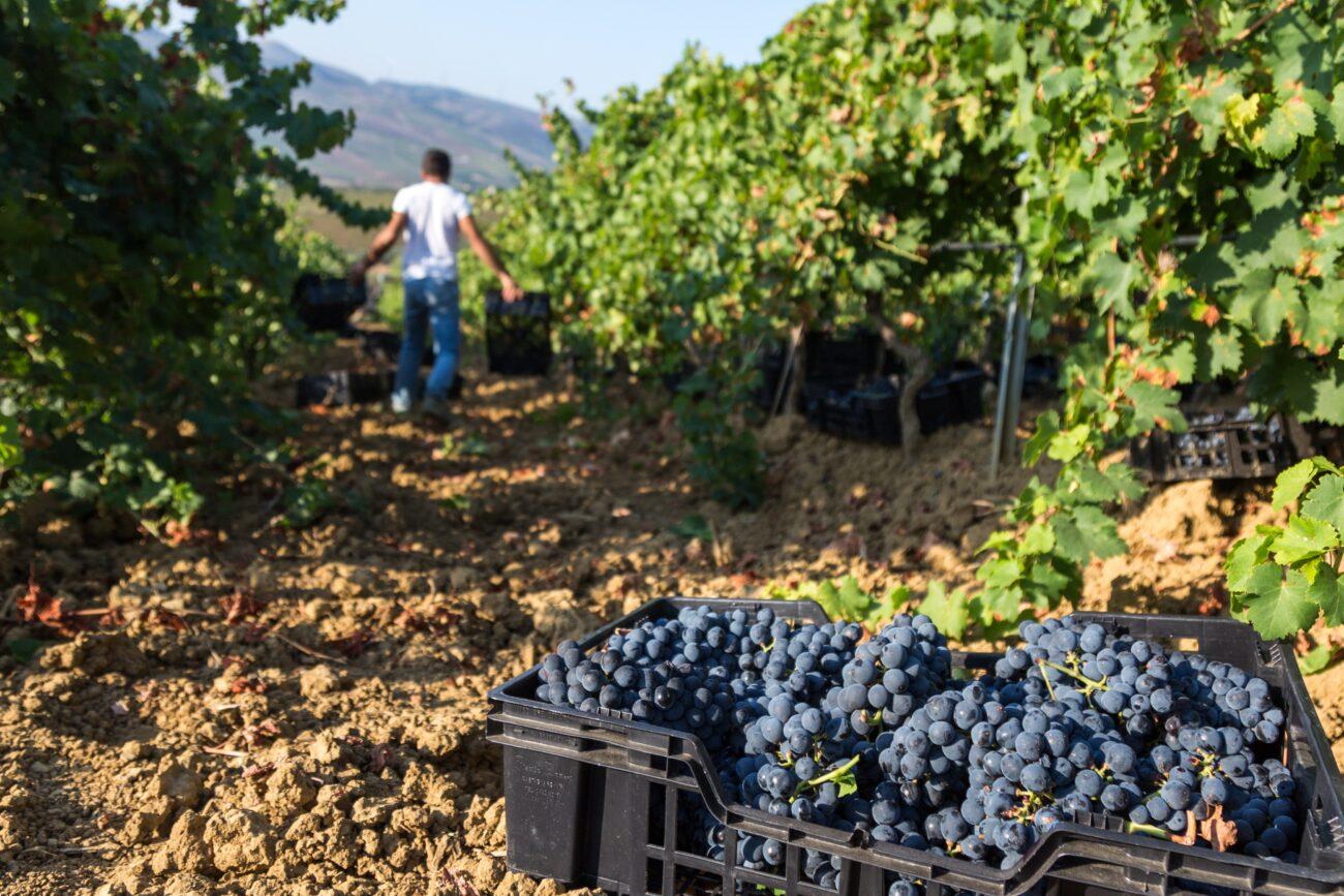 Sicilia: ottima qualità per le uve Grillo e Nero d'Avola nella vendemmia 2020
