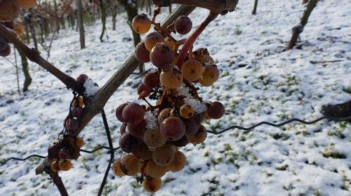 Eiswein, vendemmia 2020 precoce per i Vini di ghiaccio in Germania