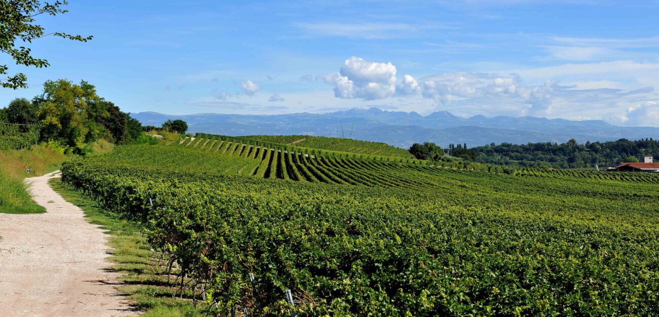 """""""Tra le vigne del Custoza"""": visite e degustazioni per i 50 anni della Doc"""