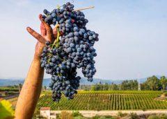 Sicilia: bene i dati della vendemmia 2020