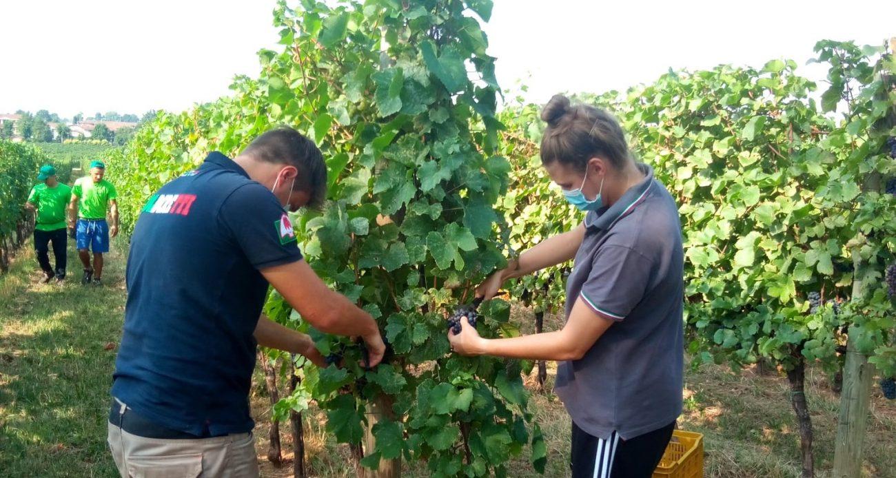 Oltrepò, taglio delle rese per Igt Provincia di Pavia Pinot nero e Pinot Grigio