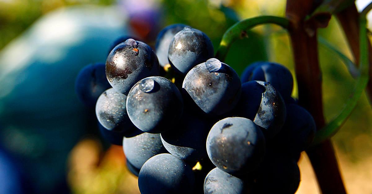 Vranec Vranac World Day 2021 sfide e prospettive per il vino rosso simbolo dei Balcani uva vitigno